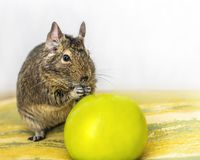 Close-up portrait of cute animal small pet chilean common degu squirrel sitting with big green apple. Concept of a healthy diet an. D vegetarianism Stock Photography