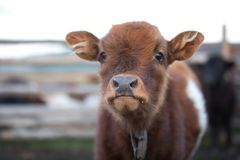 Close up portrait of a cute baby cow. Stock Photo