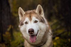 Close-up Portrait of cute Beige and white dog breed Siberian Husky sitting in fall season on a bright forest background. Close-up Portrait of beautiful Beige Royalty Free Stock Image