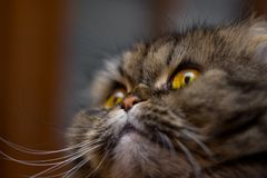 Close-up portrait of cute british scotish breed cat, gray with orange eyes, looking up royalty free stock photography