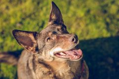 Close up portrait of cute brown orange dog royalty free stock image