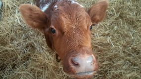 Close up portrait of a cute calf royalty free stock photo