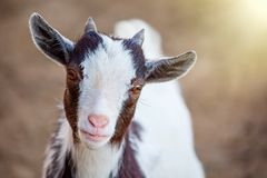 Close up portrait of cute Cameroon goatling animal with sunlight looking at camera stock image