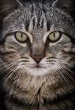 Close-up portrait of a cute cat looking straight at the camera. royalty free stock photos