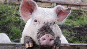 A pig. A close up portrait of cute and dirty pig royalty free stock photo