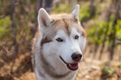 Close-up portrait of cute dog breed siberian husky in the forest on a sunny day. Image of friendly dog looks like a wolf.  stock images