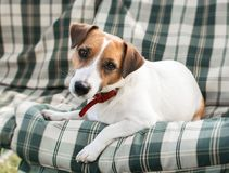 Close-up portrait of cute dog Jack russell lying on with green checkered pads or cushion on Garden bench or sofa outside at sunny. Day Stock Image