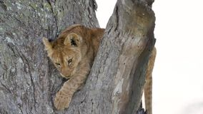 Portrait of cute little lion cub on a tree branch in the wild of Africa closeup. Close up portrait of a cute and funny lion cub on a branch of an acacia tree stock video footage