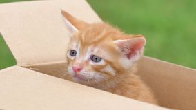 Close up portrait of a cute ginger kitten looking and crying in box, beautiful blue eyes, lovely pet, 4k footage, slow motion.  stock video