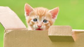 Close up portrait of a cute ginger kitten looking and crying in box, beautiful blue eyes, lovely pet, 4k footage, slow motion.  stock video footage