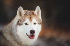 Close-up portrait of cute and happy siberian Husky dog sitting on the snow in the fairy winter forest at sunset. Close-up portrait of cute, beautiful and happy stock photography