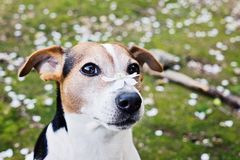 Close up portrait of cute jack russell dog with white flower. Spring is coming concept Royalty Free Stock Photos