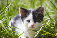 Close up portrait of Cute little kitten outdoor. A Close up portrait of a young kitten outdoors. It is facing the camera and it`s  fur is in black and white Stock Images