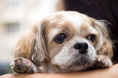 Portrait of a cute Shih Tzu dog. Close up portrait of a cute little Shih Tzu puppy dog stock photography