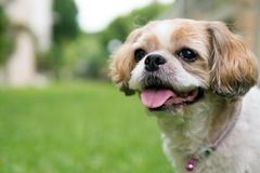 Portrait of a cute Shih Tzu dog. Close up portrait of a cute little Shih Tzu puppy dog stock image