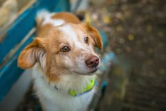 Close up portrait of cute mixed breed brown and white dog stock images