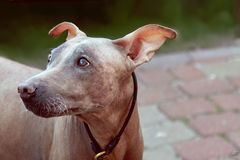 Close up portrait of cute pale dog with clever look.  Melancholy mood. Hairless velvet dog, American Hairless Terrier breed. stock images