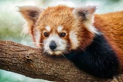 A close-up portrait of a cute red panda Latin - Ailurus fulgens relaxing on a tree branch. royalty free stock photo