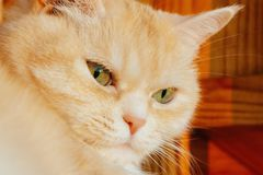 Close-up portrait of a cute serious cream tabby cat with green eyes royalty free stock photos