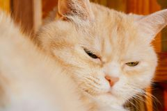 Close-up portrait of a cute serious cream tabby cat with green eyes.  stock photos