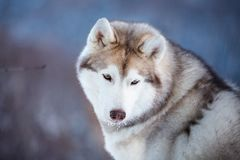 Close-up portrait of cute Siberian Husky dog sitting is on the snow in winter forest at sunset. Close-up portrait of cute an free Siberian Husky dog sitting is royalty free stock image