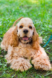 Close-up portrait of a  cute sporting  dog breed American Cocker. Spaniel smiling Stock Images