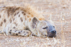 Close up and portrait of a cute Spotted Hyena lying down in the bush. Wildlife Safari in Kruger National Park, the main travel des Stock Photo