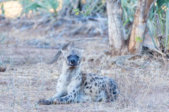 Close up and portrait of a cute Spotted Hyena lying down in the bush. Wildlife Safari in Kruger National Park, the main travel des Royalty Free Stock Photography