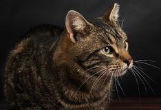 Close-up portrait of a cute tabby cat. Royalty Free Stock Photos