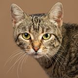 Close-up portrait of a cute tabby cat. Stock Image