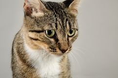Close-up portrait of a cute tabby cat on a gray background. Royalty Free Stock Images