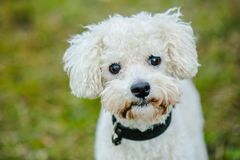 Cute white bolognese dog. Close up portrait of cute white furry bolognese dog with brown eyes and black nose looking up, standing in a park, blurry green stock photography