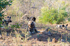 Close up and portrait of a cute Wild Dog or Lycaon lying down in the bush. Wildlife Safari in Kruger National Park, the main trave Royalty Free Stock Image