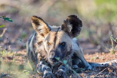 Close up and portrait of a cute Wild Dog or Lycaon lying down in the bush. Wildlife Safari in Kruger National Park, the main trave. L destination in South Africa Royalty Free Stock Photography