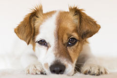 Close up portrait of a cute young small dog over white backgroun Stock Image