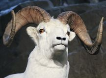A Close Up Portrait of a Dall Sheep Royalty Free Stock Photography