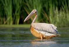 Close up portrait of dirty white pelican. Royalty Free Stock Photography