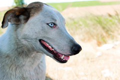 Close-up portrait of a dog with blue eyes Stock Images