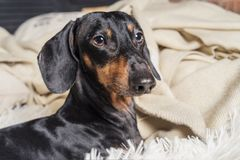 Close up portrait of dog breed of dachshund, black and tan, in bed getting ready for sleep royalty free stock photography