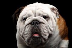 Close-up portrait of dog british bulldog breed on isolated black background Royalty Free Stock Image