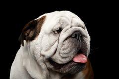 Close-up portrait of dog british bulldog breed on isolated black background Stock Photos