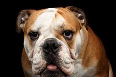 Close-up portrait of dog british bulldog breed on isolated black background Royalty Free Stock Photography