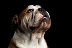 Close-up portrait of dog british bulldog breed on isolated black background Stock Photography