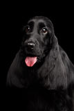 Close-up portrait of dog english cocker spaniel breed on isolated black background. Close-up portrait of dog english cocker spaniel breed, huge eyes looking up royalty free stock photos