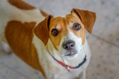 Cute curious dog looking at camera. Close up portrait of dog with gazing eyes, selective focus royalty free stock photo