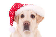 Close up portrait of dog in santa hat isolated on white Royalty Free Stock Image