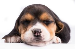 Close-up portrait of a dog sleeping royalty free stock photos