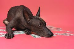Close up portrait of a dog xoloitzcuintle breed lies on a pile of American dollars money on a pink background. Wealth stock photos