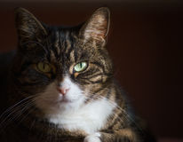 Close up portrait of domestic cat on dark background Royalty Free Stock Photos
