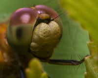 Close Up Portrait of Dragonfly Face Royalty Free Stock Photography